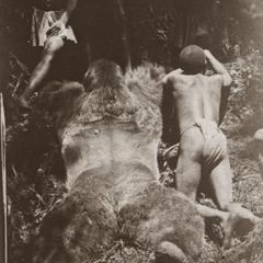 Adult Male Gorilla Print