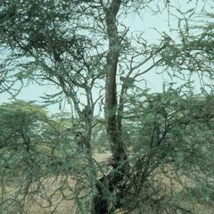 Chlorocebus pygerythrus