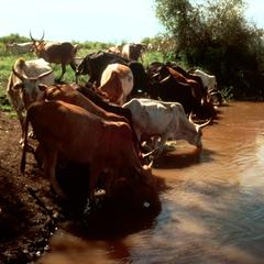 Cattle Drinking at the River