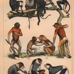 Old World Monkey Group Print