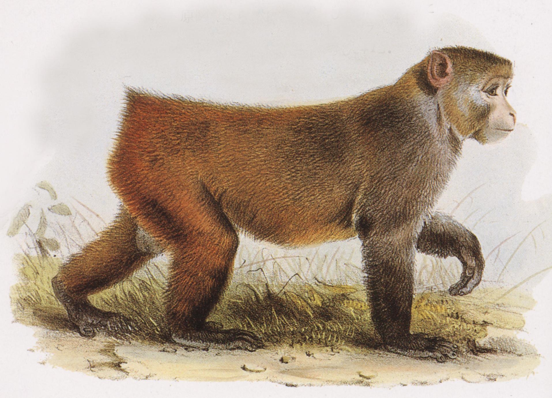 Barbary Macaque Print
