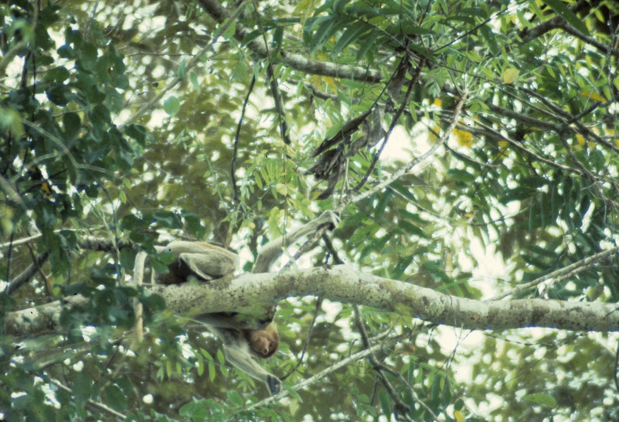 Nasalis larvatus