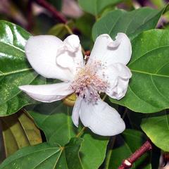 Flowering branch of Bixa