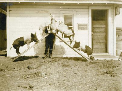 Two goats and two pigs standing on raised planks