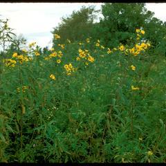 Helianthus grosseserratus, Chiwaukee Prairie, State Natural Area