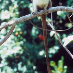 Saguinus bicolor