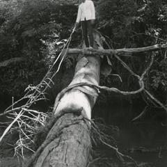 Log used as bridge to cross a river in Attapu Province