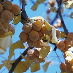 Ginkgo biloba - detail of mature seeds