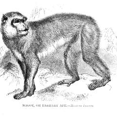 Magot, Or Barbary Ape
