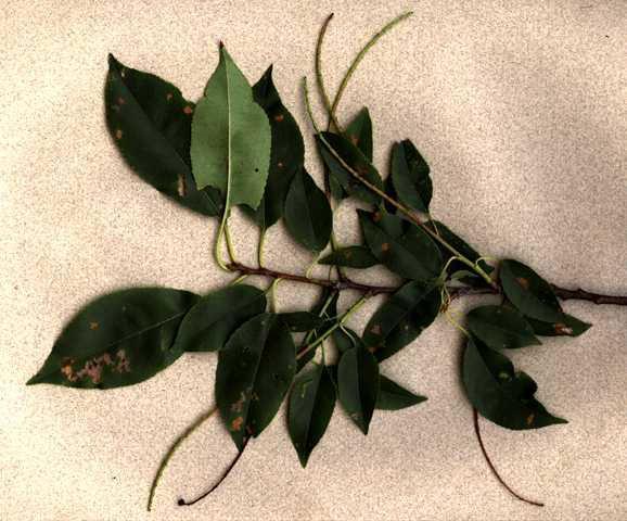 Prunus serotina - bough with old infructescences