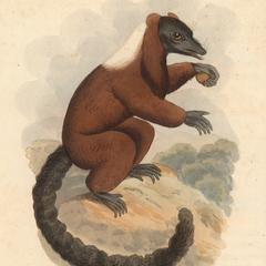 The Red Lemur