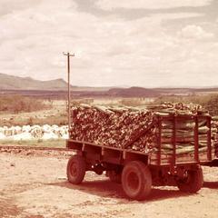 Cut Sisal Leaves on Truck