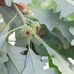 Immature acorns of bur oak