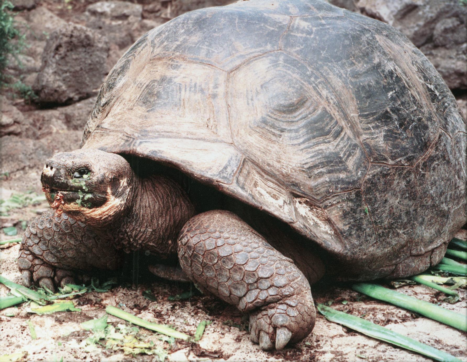 Galápagos Tortoise (Geochelone elephantopus)