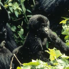 Gorilla gorilla graueri