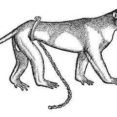 Cercopithecus, id eft, Simia caudata
