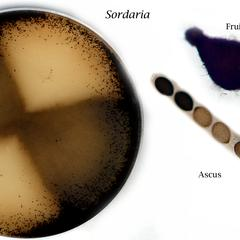 Composite of Sordaria : sexual culture, fruiting body and ascus