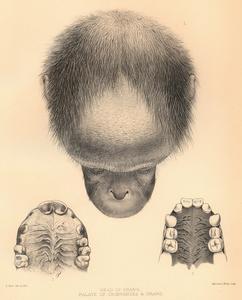 Head of Orang., Palate of Chimpanzee and Orang.