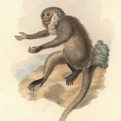 The Ash Coloured Monkey