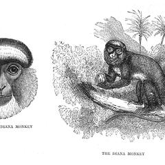 Head of Diana Monkey and The Diana Monkey
