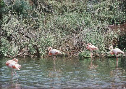 Greater Flamingos (Phoenicopterus ruber)