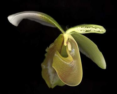 Longitudinal section of exotic ladies slipper orchid