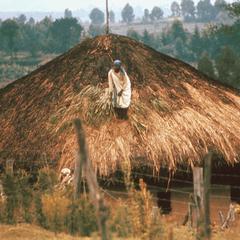 Thatching Roof of Kikuyu House