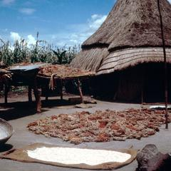 Sorghum Drying in Front of a House
