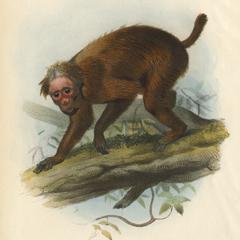 Brachyurus Rubicundus
