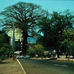 Cotton Tree in Heart of Freetown near the State House
