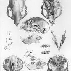 Skull, teeth, and hyoid arch of the male Aye-aye