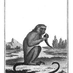 Le Mico (Marmoset)