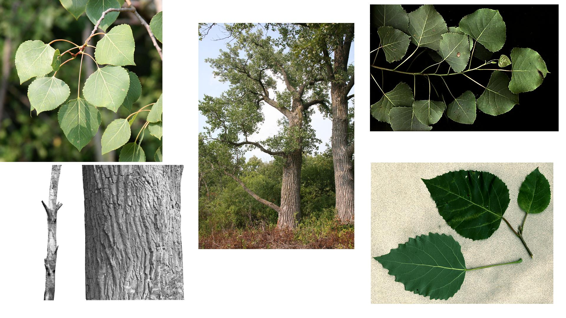 Populus composite : 1.  leafy branch of P. tremuloides, 2. large tree, 3. leafy branch and 4. bark of of P. deltoides;  5. leafy branch of P. grandidentata