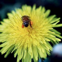 Flower head with bee of Dandelion