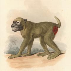 The Wood Baboon