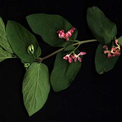 Lonicera  branch with axillary flowers