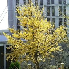 Ginkgo biloba - tree with fall color in botany garden, Madison, Wisconsin