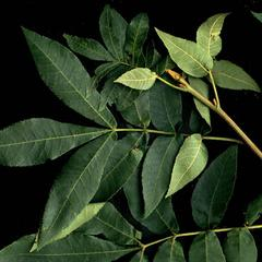 Leafy twig of butternut hickory