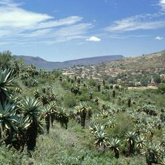 Aloes on Hillside