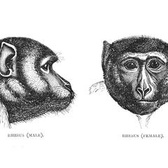 Rhesus (Male) and Rhesus (Female)