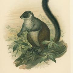 Lemur albimanus ♂