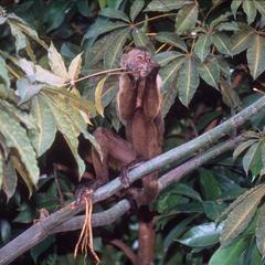 Cebus olivaceus