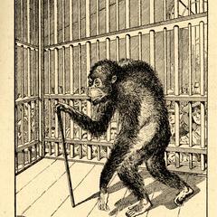 Old Captive Orangutan Print