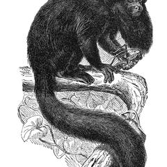 Black-Bearded Saki Print