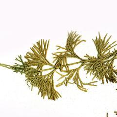 Diphasiastrum - scanned herbarium specimen