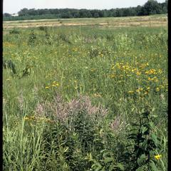Lead-plant in bloom in Curtis Prairie, University of Wisconsin Arboretum