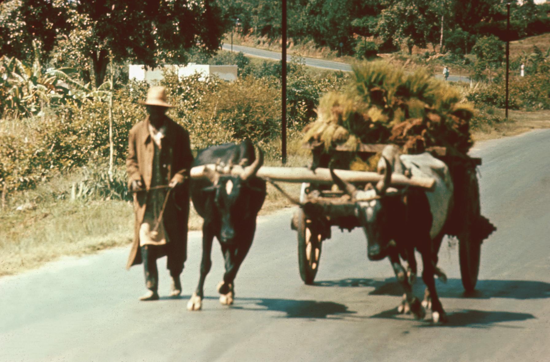 Ox Cart Transporting Rice Seedlings