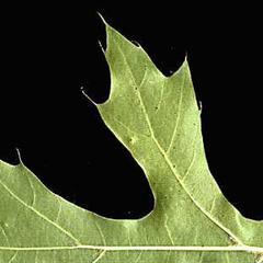 Bristles and sinuses of leaf of black oak