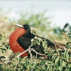 Great Frigatebird (Fregata minor) on bush