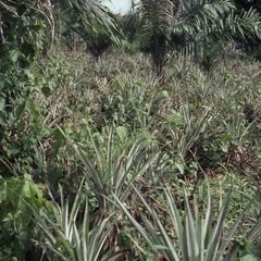 Oba Oladele Olashore's farm